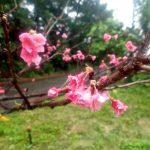 桜が咲いてますよ!
